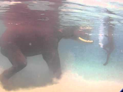アンダマン 泳ぐ象2