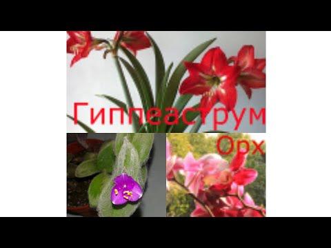 Цветок рео пестрое