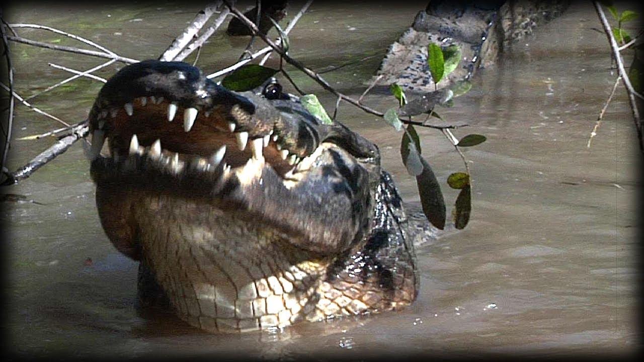 Alligator eats Raccoon 01 - Dangerous Animals - YouTube