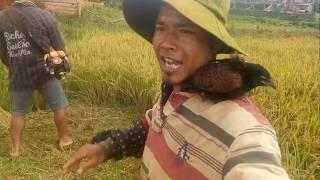 Dùng Máy Phát Cỏ Gặt Lúa. Đây Là Video Hài Hước Nhất Tôi Từng Xem