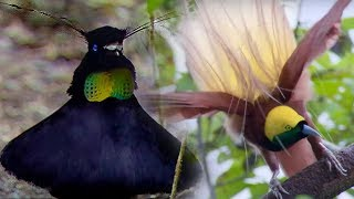 Bird Of Paradise Courtship Spectacle - Planet Earth - BBC Earth