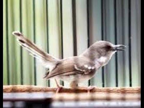 Burung Master : Ciblek Gacor Ngebren
