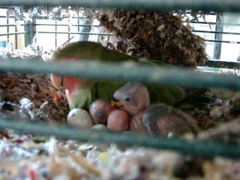 Houdini With Her Three Baby Lovebirds On Day 10 In High Definition video