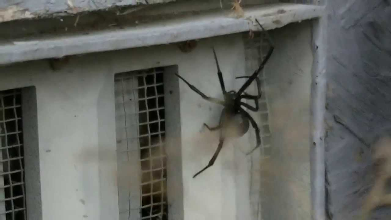 Biggest Black Widow Spider in The World Big Black Widow Spider