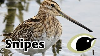 BTO Bird ID - Common and Jack Snipe