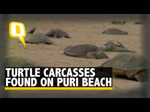 Carcasses of Over 150 Olive Ridley Turtles Found on Puri Beach