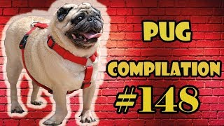 Pug Compilation 148 - Funny Dogs but only Pug Videos | Instapug