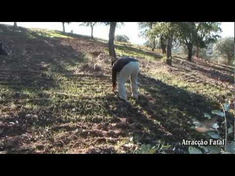 Tirada de Paloma Torcaz en Extremadura y Portugal