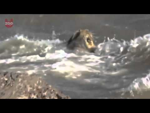 Lion Rescued from the Arabian Sea!