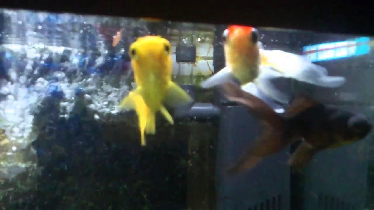 Acuario 20 litros peces de agua fr a youtube for Cuidados acuario agua fria