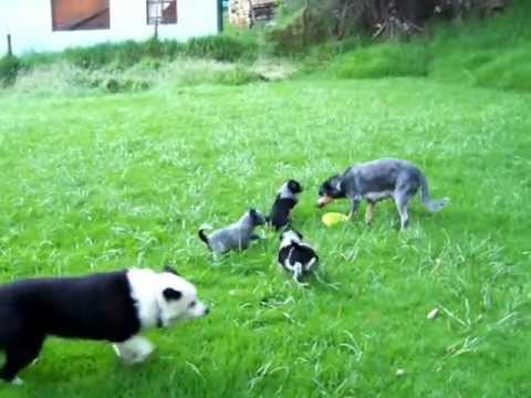 border collie/blue heeler mix puppies 6 weeks - YouTube