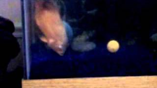 killer fish pong player.3GP