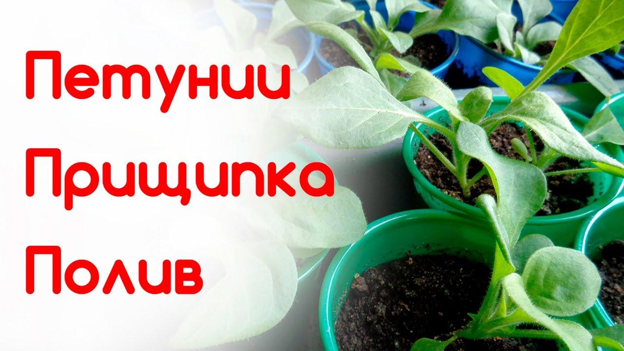 Как прищипнуть рассаду петунии 48