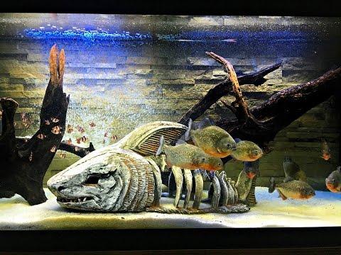 Что Будет Если к Пираньям Кинуть Живых Рыбок