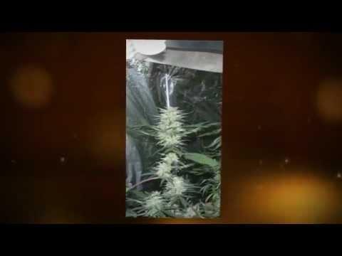 4000 Watt CFL Stealth Grow First 4 weeks in Flower