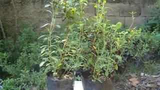 Plantas de Stevia Casera En Venezuela