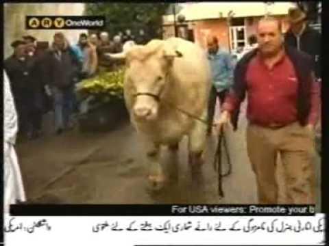 Fattest Cows Worlds Fattest Cow 1300kg