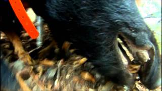Insane Jagd Terriers On a Wild Boar - filmed with a GoPro