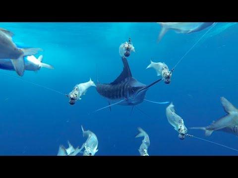 餌に興味を示す高速で泳ぐカジキをGoProで正面からとらえた映像