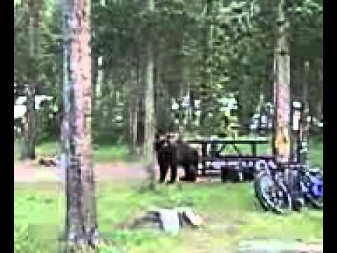 Yellowstone Bear Attacks Generator