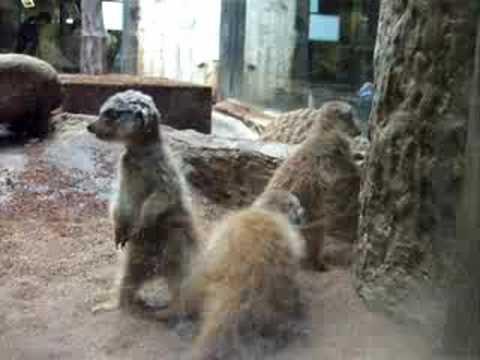 上野動物園のミーアキャット ミーア4兄弟/meerkat babies UENO ZOO