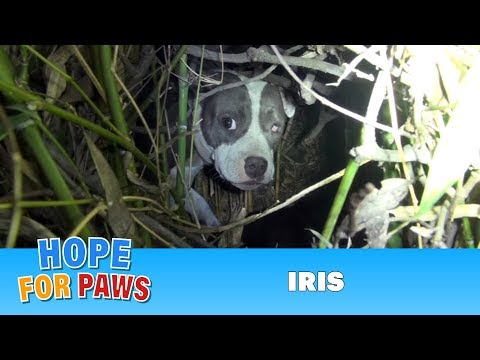 Finding Iris: Saving a homeless injured dog + an unexpected surprise!!!  Please share.