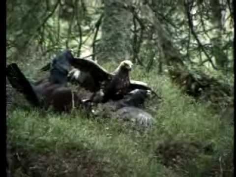 Águila real y urogallos - Golden eagle and capercaillie