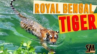 দেখুন বাঘ কিভাবে সাঁতার কাটে  Rayal Bengal Tiger