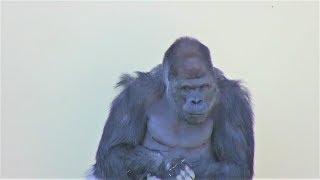 シャバーニ家族 244 Shabani family gorilla