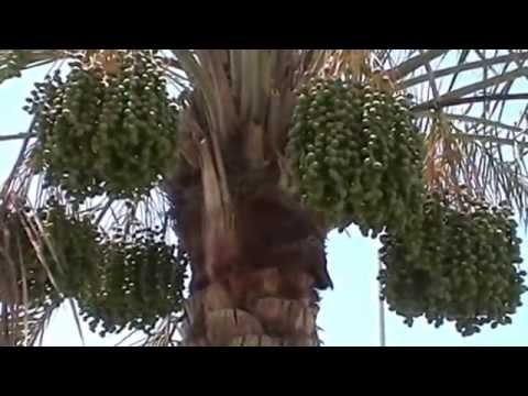 Pisang Berbuah Lebat Pohon Kurma Berbuah Lebat