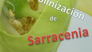 Carniplant-Plantas carnívoras-Polinización de Sarracenia