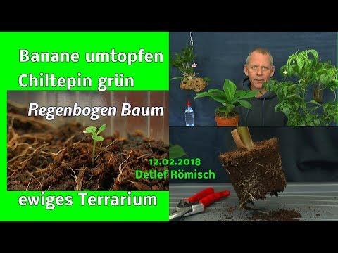 Banane umtopfen, Chiltepin wieder grün, ewiges Terrarium Update. Auslosung