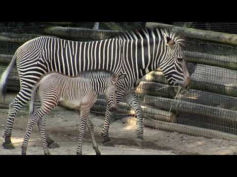 Cute Baby Zebra Colt-Cincinnati Zoo