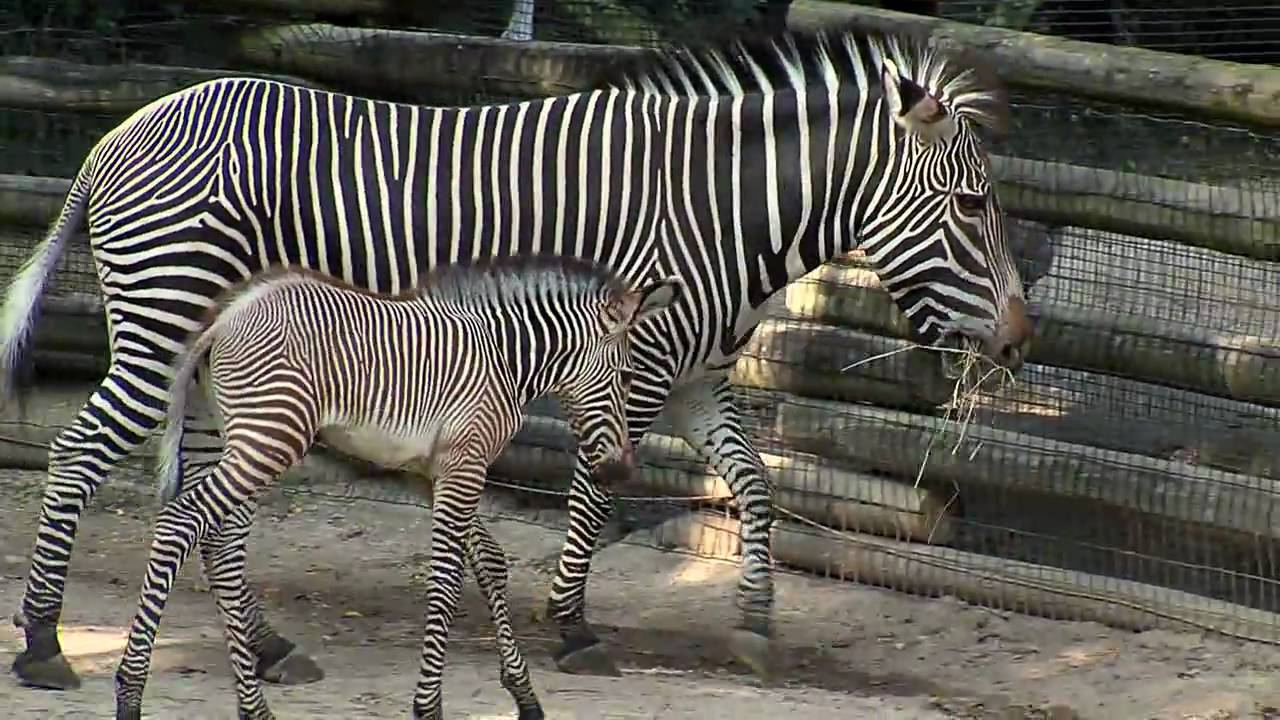 Cute Baby Zebra Colt Cincinnati Zoo Youtube