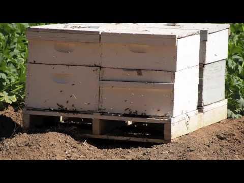 Honeybee Crop Pollination - various