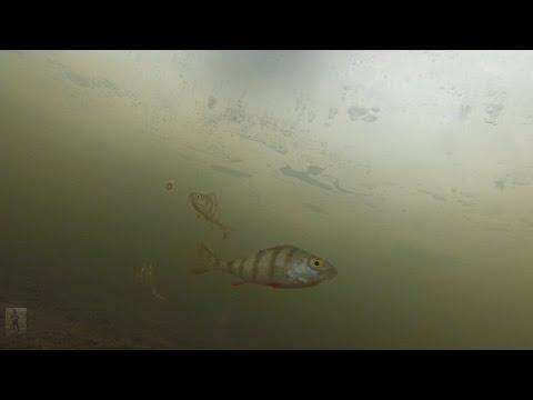 Что происходит под водой в момент поклевки. Ловля окуня и плотвы на мотыля.