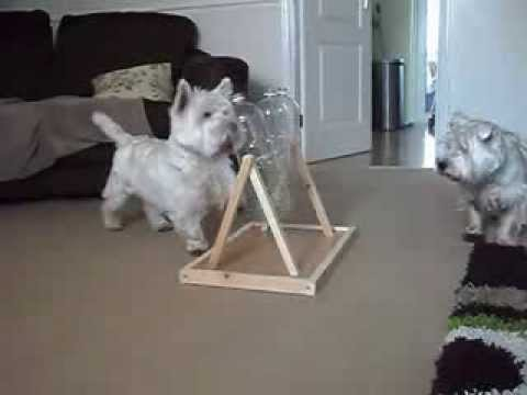 Westie Gets Treats From Bottles Youtube