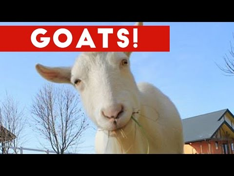 Funniest Cute Goat Video Compilation January 2017   Funny Pet Videos