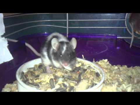 2:52. Two 2 weeks pregnant mice. Two 2 weeks pregnant mice