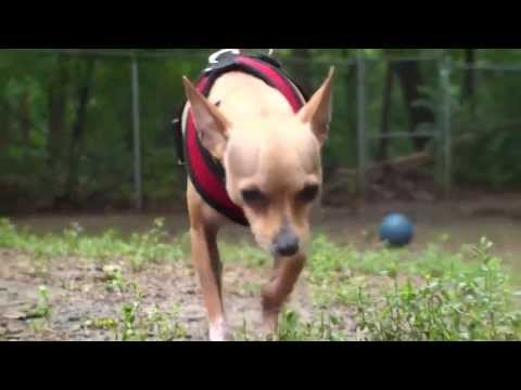 Pet of the Week: Zuko [Italian greyhound/Chihuahua mix]