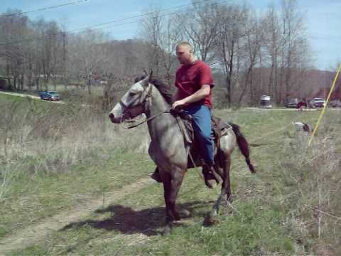 Iron Grey Racking Horse Colt For-sale SOLD!!!!!