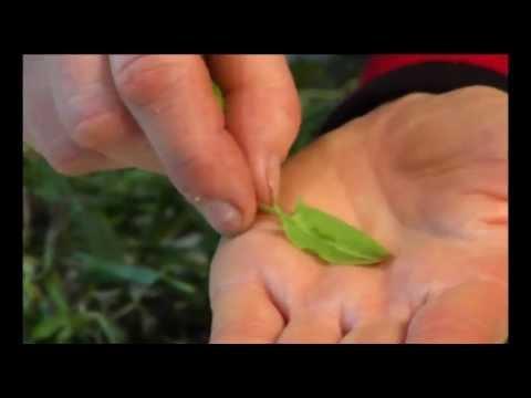 Wildkräuter Und Essbare Heilpflanzen: Sauerampfer