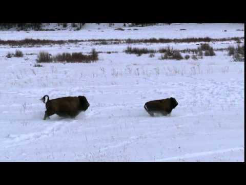 Bison running in Yellowstone's winter