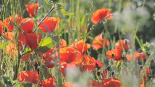 Le Chant De Coquelicots The Song Of The Poppy 39 S