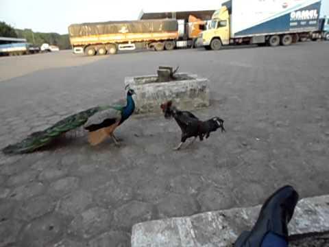 Briga de galo com pavão