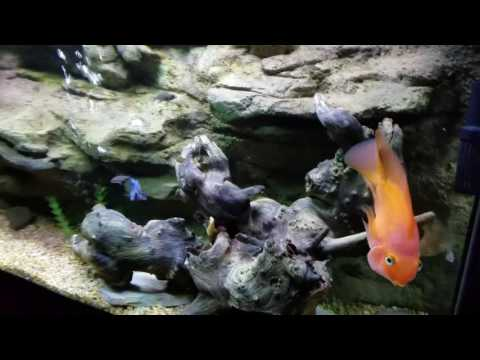 African cichlid november update new additions videolike for Live fish direct
