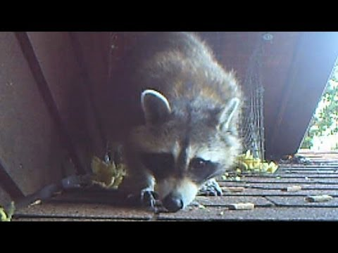 Raccoon Family of Three gets Humanely Evicted