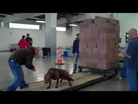 Собака силач, тянет более 5000 фунтов!!!