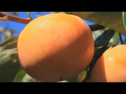 【Goovie 5D】岐阜・西濃地域 岐阜県を代表する秋の味覚 ~富有柿~