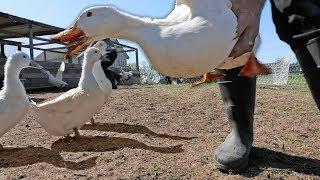 We're DONE with Pekin Ducks